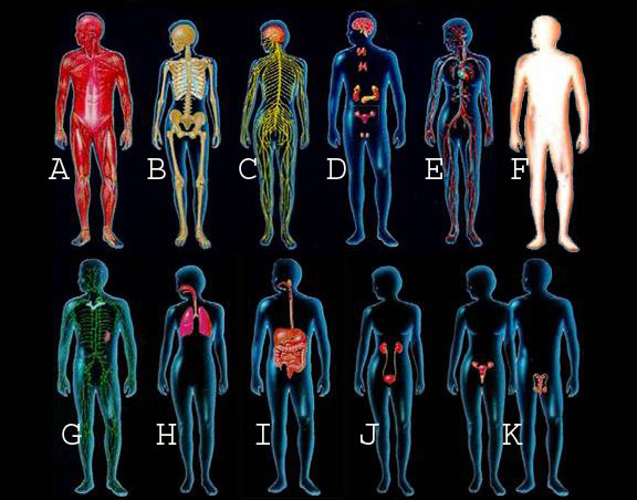 Organs Systems of the Human Body - Elliots World