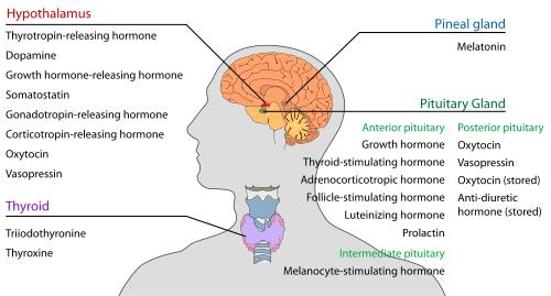 Endocrine_central_nervous