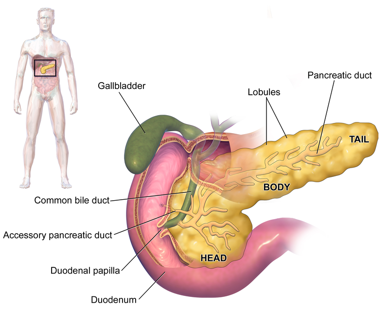 Endocrine System - The Body\'s Way of Talking - Elliots Blog