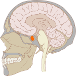 pituitary gland - the Endocrine System