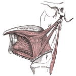 tongue_muscles