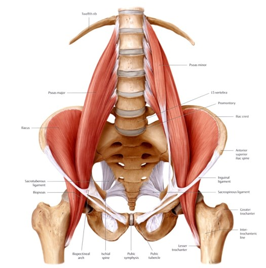 hip_musculature_spinal_support