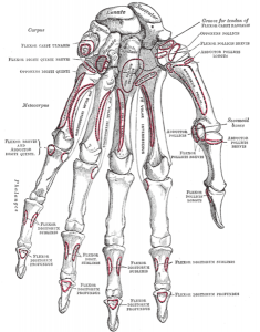 hand_bones_detailed