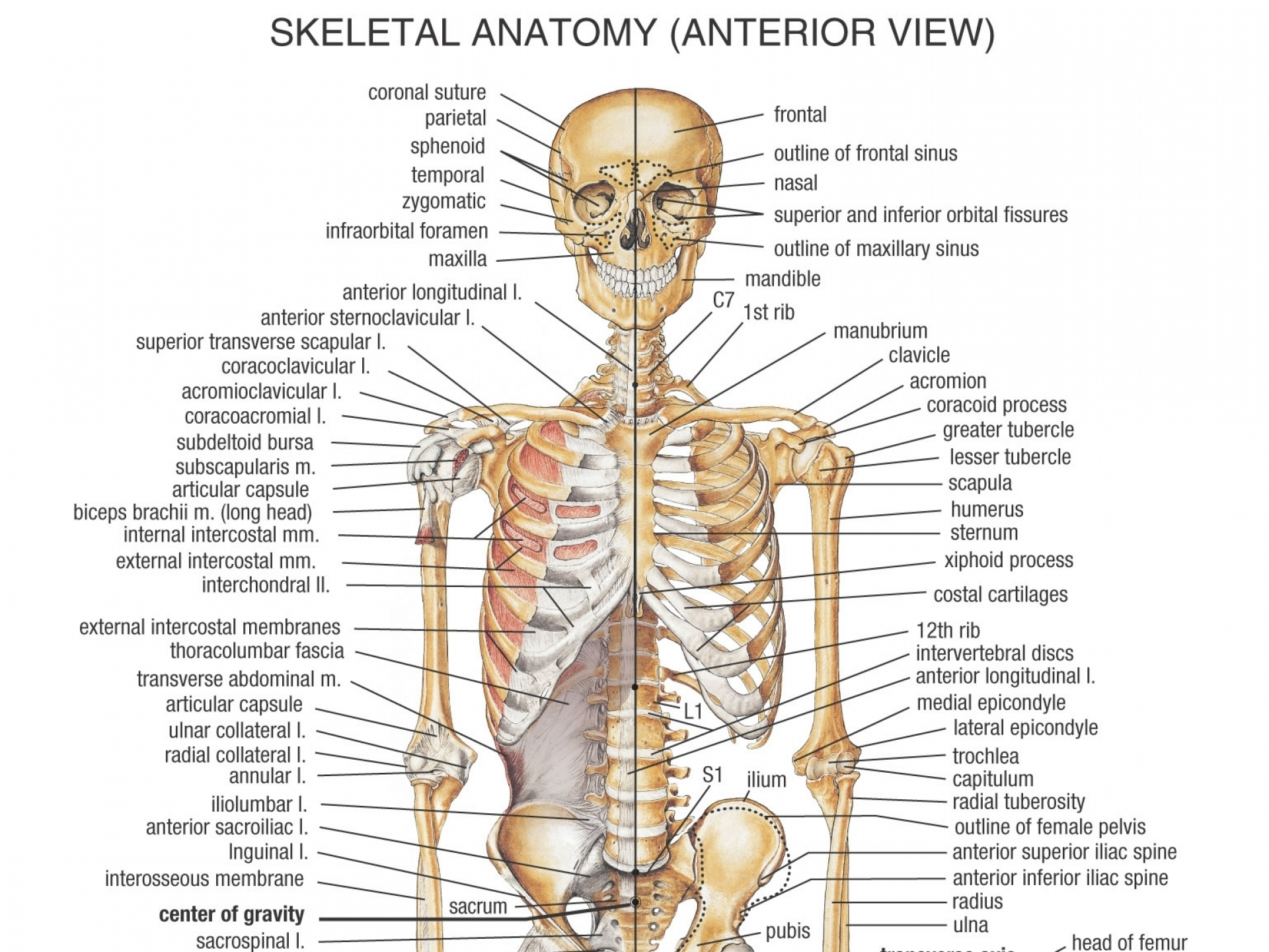 Spine Ribs And Pelvis Male Diagram - Wiring Diagram Services •