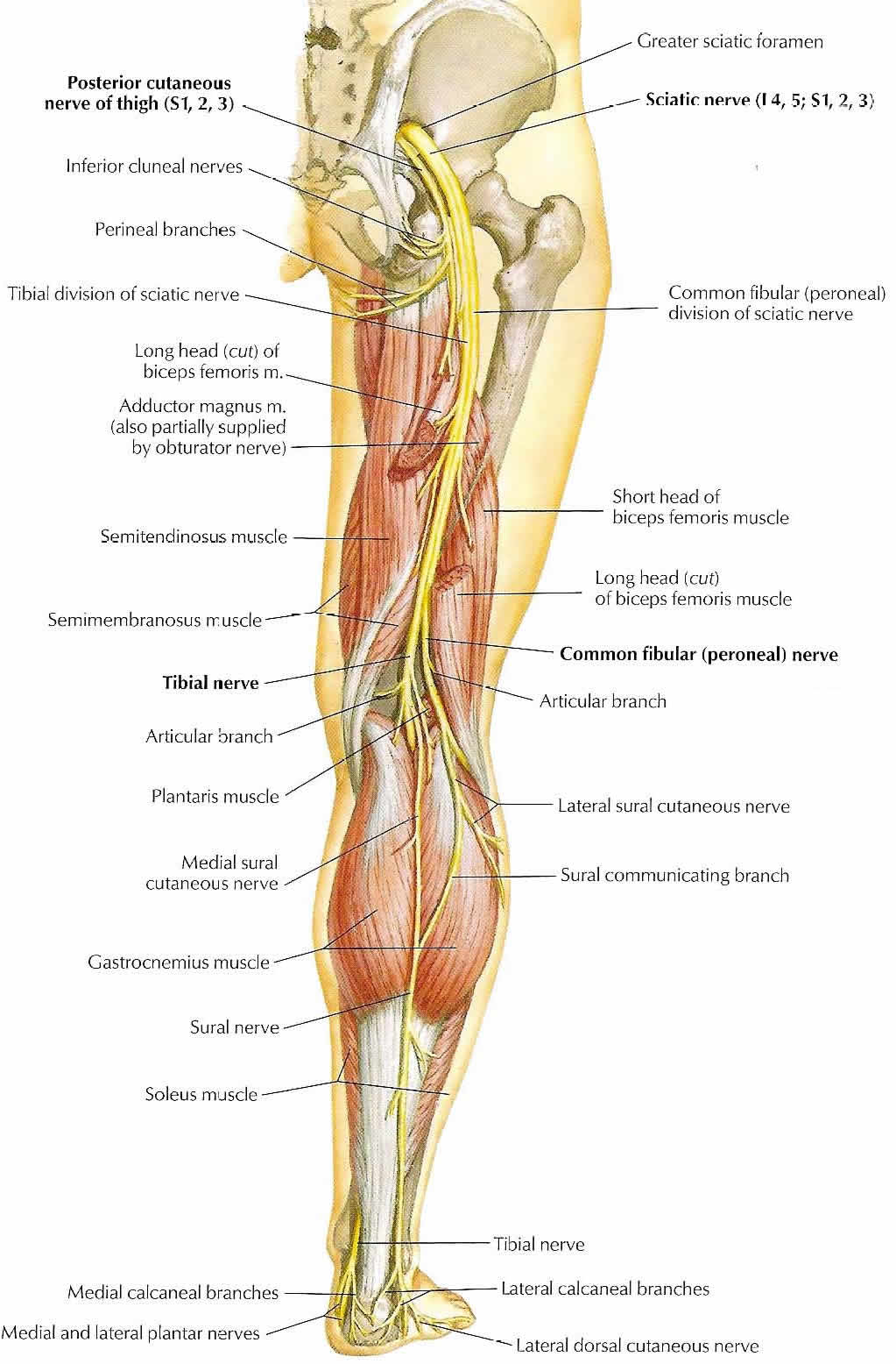 The Sciatic Nerve: A River of Energy Suppyling the Legs of Humans ...