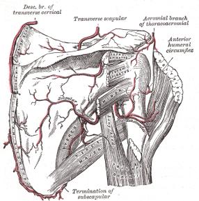 Gray's Shoulder Tendons