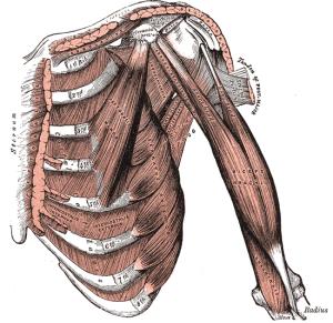 grays_shoulder_anterior