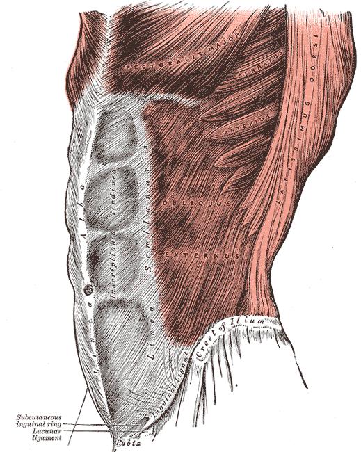 abdominal 2 (GRAY)