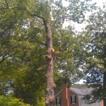 Large tree removal richmond va