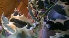Ilex aquifolium 'Aurea Marginata'5