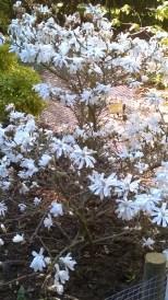 Alnarp-2016 Magnolia 1