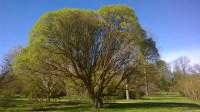 Alnarp-2016 Träd 3