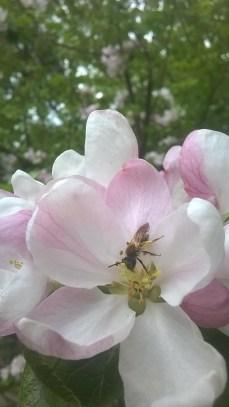 Äppelblom (7)