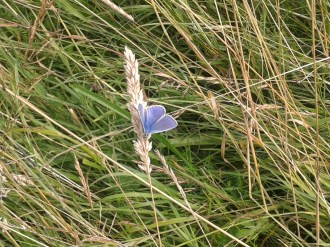 Blue butterfly, spring 2014