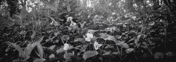 A close up picture of flowers, taken with an Ondu 617 pinhole camera.