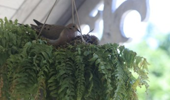 mourning dove - 2