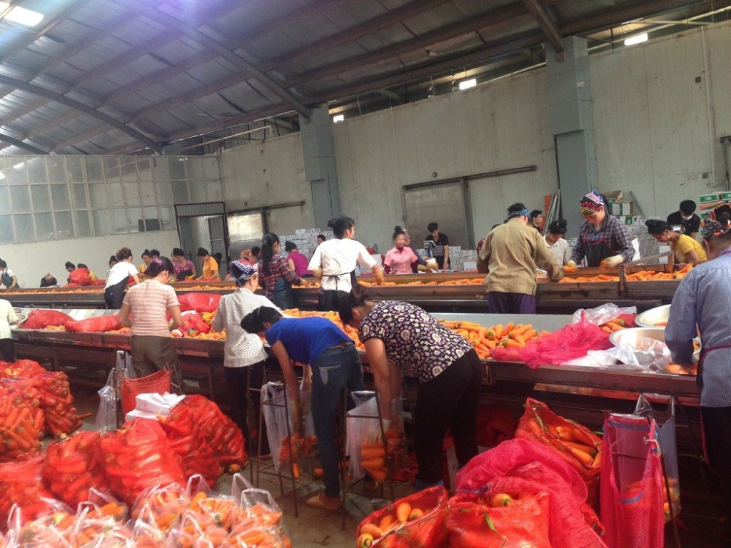 Elmar factory for processing fresh carrot in Vietnam. cleaning, washing, sorting, packing