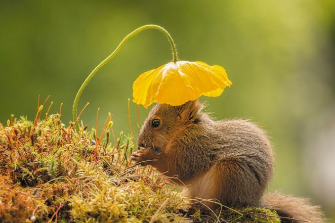 Sun Head (How Hard Can It Be To Get A Squirrel Under A Flower. It Is Very Rare :) Finalist In Smithsonian And Published In Magazines)