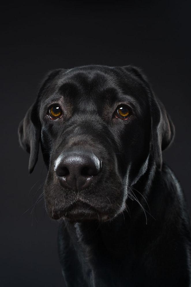 Blues, The Labrador Retriever Puppy