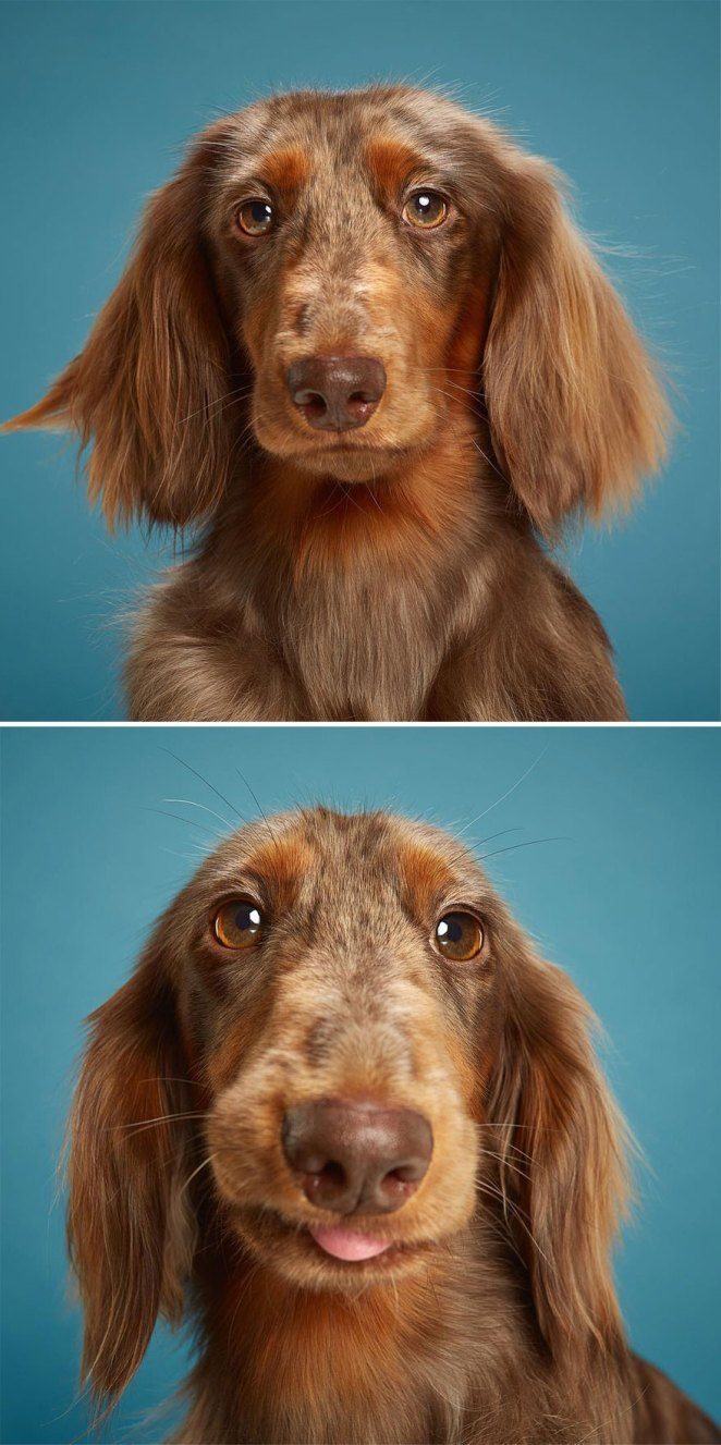 Zlatan, The Longhaired Dachshund