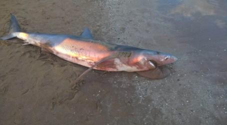 Aparece un tiburón en la playa de Massamagrell