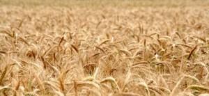 cornfield, wheat field, cereals