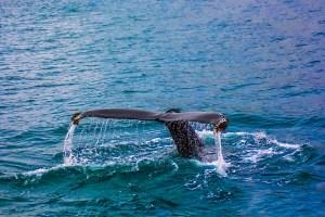 whale, breach, breaching