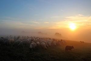 flock of sheep, shepherd romance, abendstimmung
