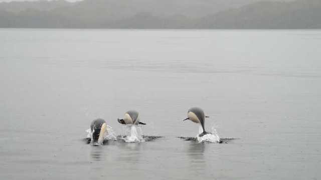 LA FOTO DEL DÍA: el exótico Delfín Liso en aguas del Estrecho de Magallanes 4