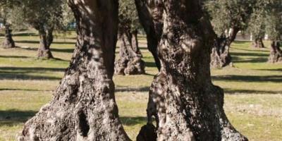 La Comunidad busca su mejor olivo.