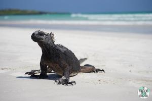 Foto de iguana Marina en Tortuga Bay