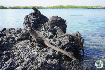 Iguanas marinas de Galápagos, que se encuentran por todas partes en Isabela