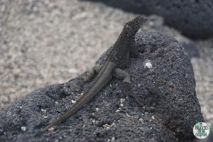 Foto de Lagartija de lava de Galápagos