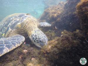 Foto de Tortuga marina alimentándose