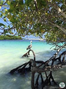 Foto de Pelícano en Tortuga Bay