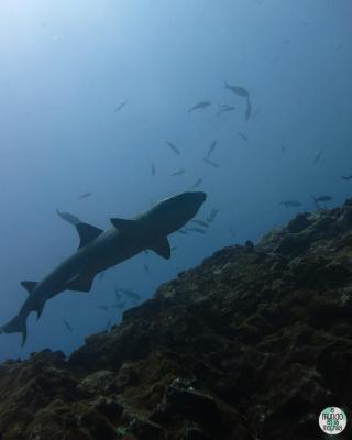 Tintorera o tiburón de arrecife de punta blanca, el Islas Galápagos