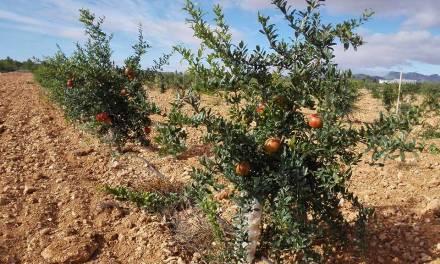 Agricultura estudia las variedades de granado que mejor se adaptan a la zona del Noroeste de la Región