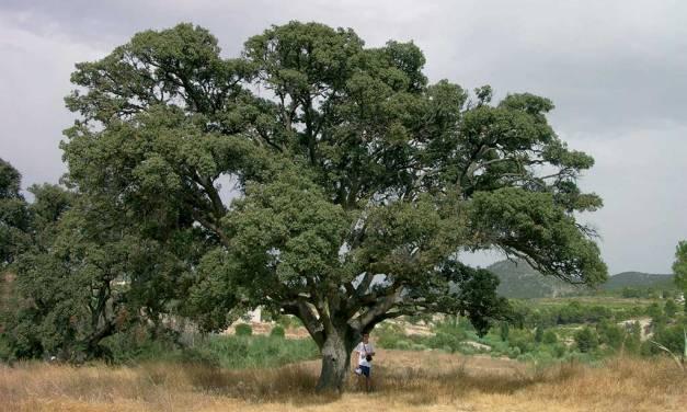 """""""Rutas a pie por los árboles monumentales y singulares de Bullas"""", del doctor en Biología Santiago Fernández"""