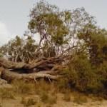 El pino de la Celia, el de la Osamenta o el almez del Niño, perdidos recientemente