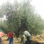 Un día en la oliva