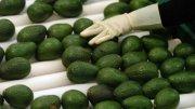 Aguacate mexicano, producto con calidad de exportación   Foto: Especial