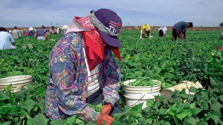 Trabajador de cosecha | Foto: Especial