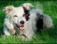 """Fallece Chaser, considerado el perro """"más inteligente del mundo"""""""