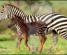 Nace en Kenia cebra con lunares