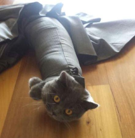 gato americana manga
