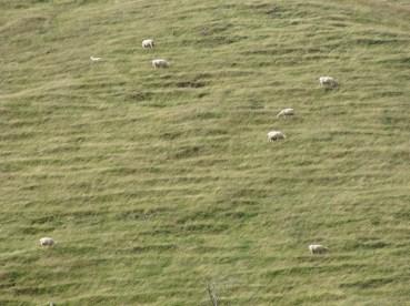 ...plein de moutons