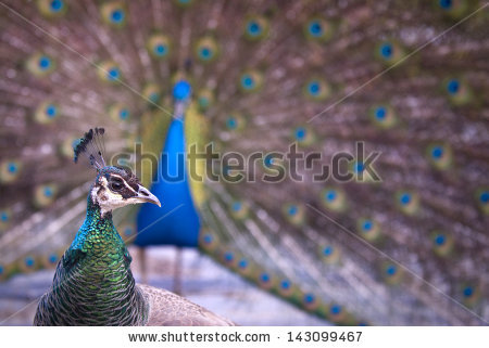 stock-photo-female-peahen-looking-back-at-a-peacock-displaying-mating-dance-143099467