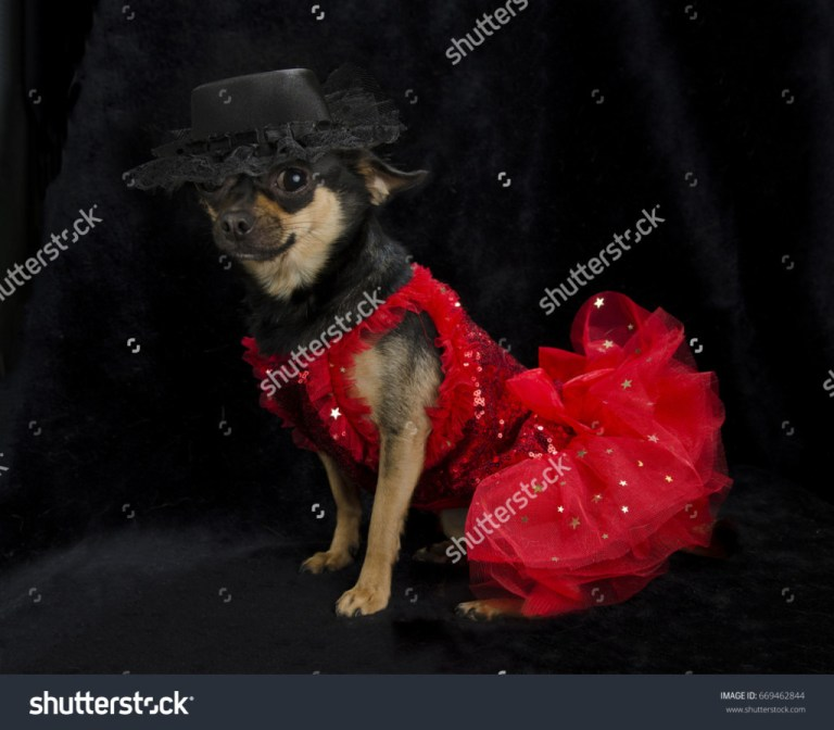 Lady Chihuahua in a red dress