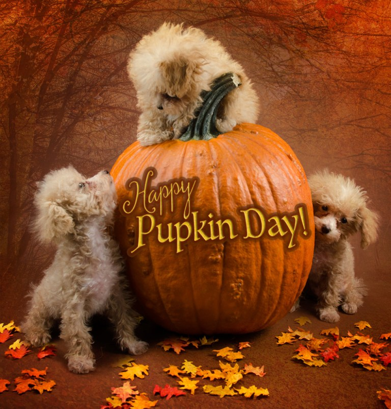 poodle puppies on a pumpkin