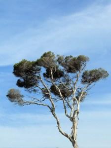 paperbark-tree-1121787_1920